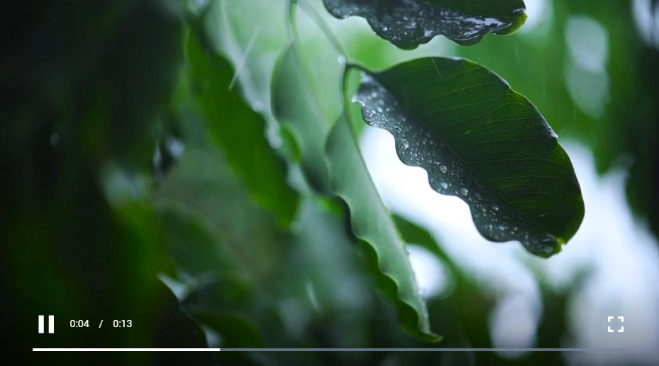 被雨淋湿的树叶的近照