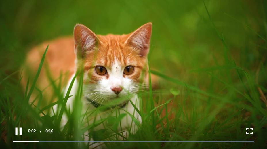 躺在草丛中的白猫近距离观察