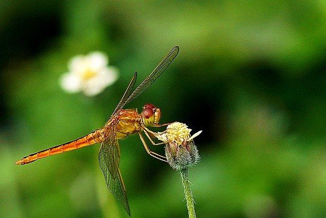 Dragonfly Insect Macro Wings  - ignartonosbg / Pixabay