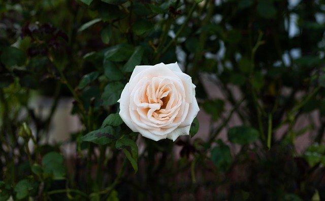 Rose Flower White Rose Petals  - anitavm95 / Pixabay