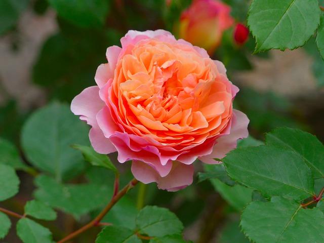 Rose Pink Flower Bloom Flowers  - Laila_ / Pixabay